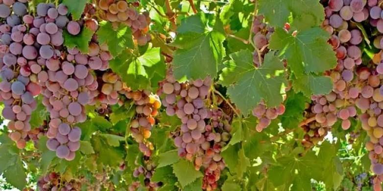 Convocan a productores para el programa de compra de uva