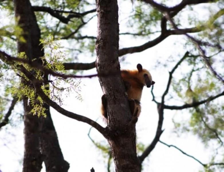 El oso encontrado en Valle Fértil fue trasladado a La Rioja