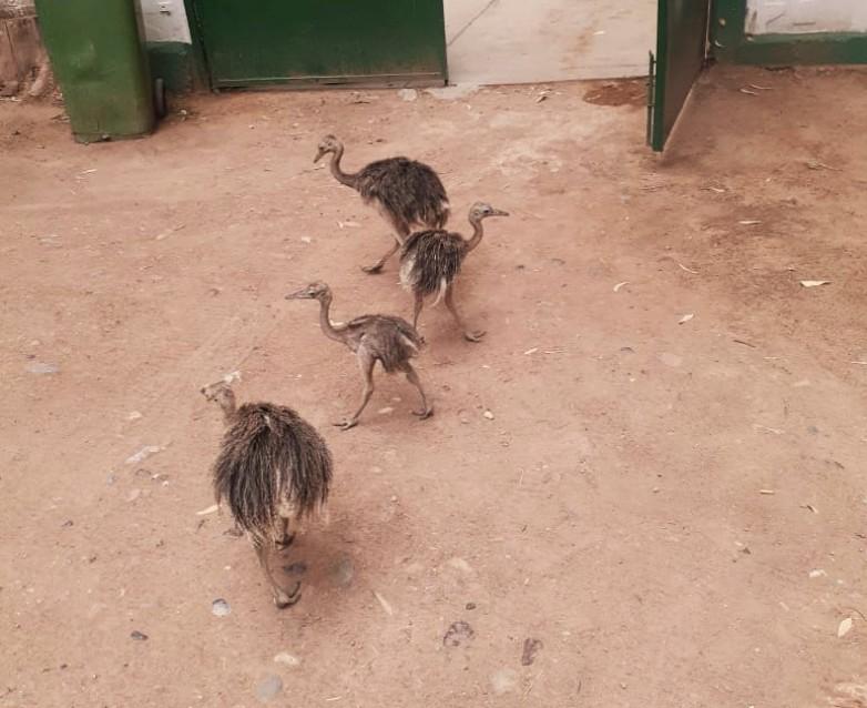 Cuatro choiques, más cerca de volver a su hábitat gracias a un allanamiento