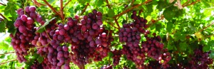 El Programa de Asistencia Financiera para el sector vitivinícola 2020 llega a los departamentos